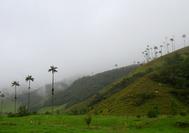 Típico paisaje con palmeras del Valle de Cocora, en el Eje Cafetero de Colombia