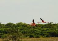 Flamencos volando en La Guajira