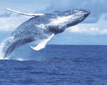 Viajes a Colombia | Salto de ballena jorobada en Nuquí