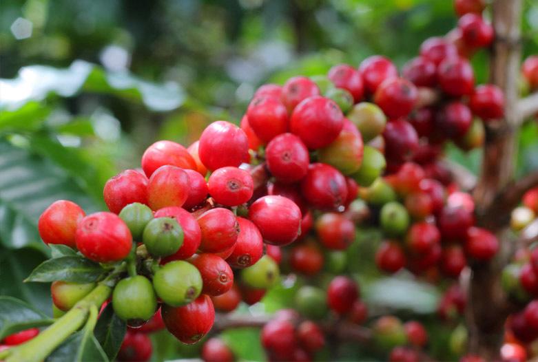 Viajes a Colombia | Rama de la planta del café, Eje Cafetero
