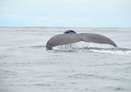 Ballena en el Pacífico en Nuquí